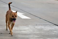 Hungry stray dogs walk alone Royalty Free Stock Image