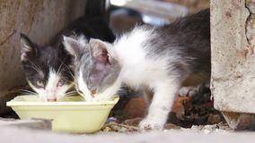 Hungry stray kitten swill water from bowl closeup, focus going out in the end of footage stock video footage