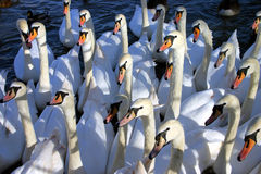 Hungry Swans. A gaggle of hungry swans look on attentively in the hope of food Stock Image