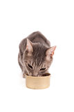 Hungry tabby cat eating canned food. A hungry tabby cat eating canned cat food isolated on a white background Royalty Free Stock Image