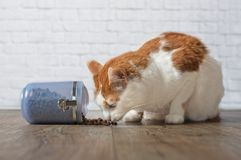 Hungry tabby  cat steal food from a open food container. Hungry tabby cat steal  food from a open food container Royalty Free Stock Image