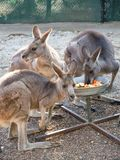 Hungry Three young kangaroos eating some vegetable from the tray in a zoo. A Hungry Three young kangaroos eating some vegetable from the tray in a zoo stock photo