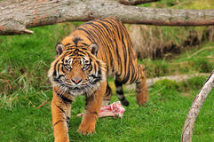 Hungry tiger. Not satisfied with one kill comes looking for more stock photography