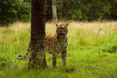 Hungry tiger. Tiger staying in the wood among the trees stock photos
