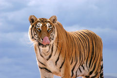 Hungry Tiger. Bengal tiger licking his nose, against a blue sky royalty free stock images