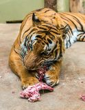 Hungry tiger is eating meat. Hungry tiger is eating and biting meat stock image
