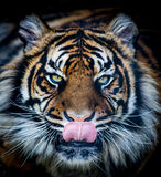 Hungry tiger. Head / face licking tongue royalty free stock photography
