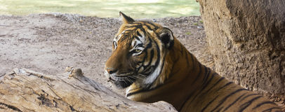 A Hungry Tiger Hides Behind a Log. At a Stream's Edge Waiting for Prey royalty free stock image