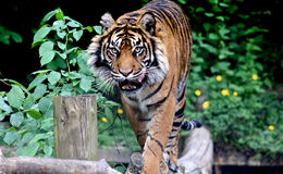 Hungry Tiger. A tiger licking its lips royalty free stock photo