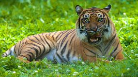 Hungry Tiger. A tiger licking it's lips while it stares at the photographer stock photography