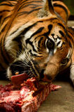 Hungry tiger. In prague zoo stock images