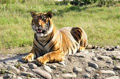 Hungry tigress Royalty Free Stock Image