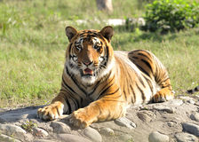Hungry tigress. In hot summer day stock image
