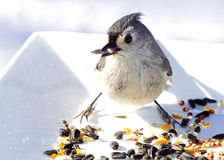 Hungry Titmouse Bird Stock Photography