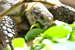 Hungry Tortoise. Eating salad. Its scientific name is agrionemys horsfieldii royalty free stock images