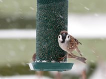 Hungry tree sparrow Royalty Free Stock Image