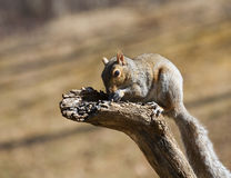 Hungry tree squirrel Stock Images