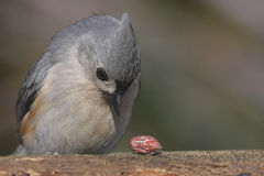 Hungry Tufted Titmouse Royalty Free Stock Image