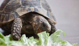 Hungry turtle. A hungry tortoise eating lettuce Stock Photography