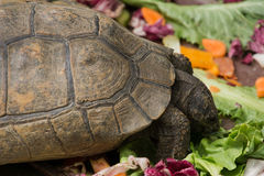 Hungry turtle Royalty Free Stock Photos