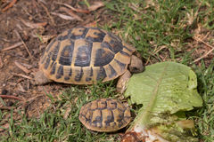 Hungry turtle eating lettuce stock photos