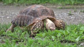 African Spurred hungry tortoise eating grass. Hungry turtle with tough shield eating grass stock video