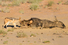 Hungry two Black backed jackal eating a carcass Royalty Free Stock Photo