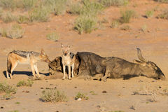 Hungry two Black backed jackal eating on a hollow carcass in the Stock Photography