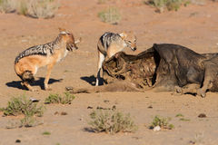 Hungry two Black backed jackal eating on a hollow carcass in the Royalty Free Stock Photos