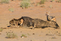 Hungry two Black backed jackal eating on a hollow carcass in the Royalty Free Stock Image