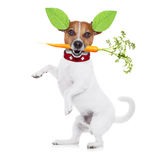 Hungry vegan dog. Jack russell dog  with  healthy  vegan food , isolated on white background, while standing Stock Photo