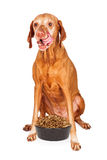 Hungry Vizsla Dog With Bowl of Food. A hungry Vizsla breed dog sitting and licking lips with her tongue out and a heaping bowl of dry kibble dog food in front of Stock Photos