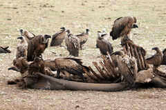 Hungry vultures. In the lake manyara park in tanzania Stock Photography