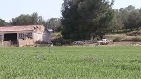 Hungry vultures in a sheep herd, Huerto, Spain stock footage
