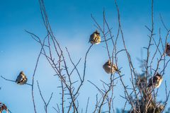 Waxwings on Winter Tree royalty free stock photos