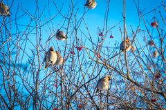 Waxwings on Winter Tree stock image