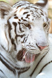 Hungry white bengal tiger yawning. Head shot of a bengal white tiger stock photos