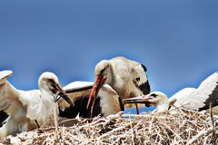 Hungry white stork chick eating dice snake. CIconia ciconia stock image