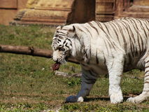 Hungry White Tiger. This is a picture of a White Bengal Tiger being fed at Miami Metro Zoo royalty free stock images