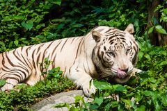 White Tiger. A hungry white tiger licking its lips in hunger stock images