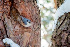 Hungry wild bird nuthatch on a tree stock photo