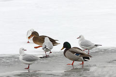 Hungry wild birds in winter. Hungry wild birds foraging for food in winter, walking on frozen river  Anas platyrhynchos, mallard duck and different gulls Stock Image
