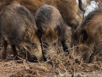 Hungry wild boars Royalty Free Stock Photography
