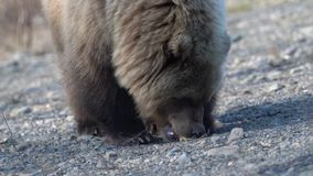 Hungry wild Kamchatka brown bear eats hot dog, which he given people. Zoom in