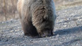 Hungry wild Kamchatka brown bear eats hot dog, which he given people