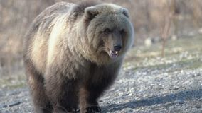 Hungry wild Kamchatka brown bear eats human food, which he given people. Zoom in