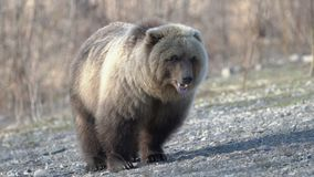 Hungry wild Kamchatka brown bear eats human food, which he given people