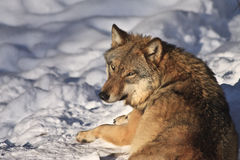 Hungry Wolf. A wolf laying in the snow in the Falkenstein Nature Park located in the Bavarian Forest National Park Royalty Free Stock Photography