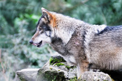 Hungry wolf. A lone wolf looking hungry licking lips Stock Photos