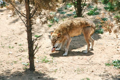 Hungry wolf prey. Wolf eats meat, wild nature, wild animal, a hungry wolf prey Royalty Free Stock Photos